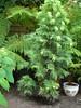Wollemia Nobilis 02.06.2014. (NashiraExoticGarden) Tags: wollemianobilis exoticgarden exotentuin 02062014