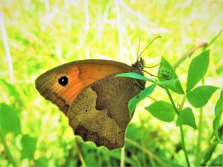Butterfly 1258