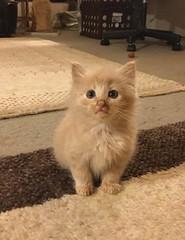 Little Guy (Philosopher Queen) Tags: kitten cute cat chat gato gatito babycat littleguy smudge buff cream