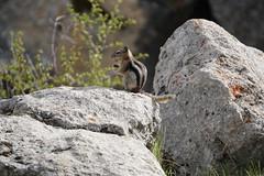 JLS09861 (Jenny Lynne Semenza) Tags: goldenmantledgroundsquirrel