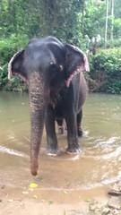 Orphelinat pour éléphants - GlobAlong (infoglobalong) Tags: sri lanka éléphants animaux aide animalier bénévolat asie excursions pêcheurs mahout bain cultures