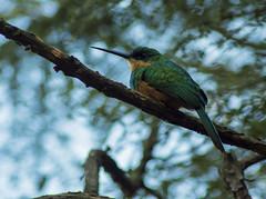 ARIRAMBA01 (Edvaldomarques) Tags: ave ariramba portoferreira brasil pássaros galbula greentailedjacamar nature natureza nikon bird brazil freedomlife freedom spiritofphotography musictomyeyes