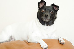 Noodge (. o 0 Sam 0 o .) Tags: nikon d300s 50mmf18d dog canine ratterrier smalldog pet animal
