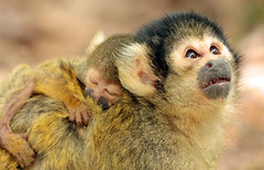 squirrelmonkey apenheul BB2A1724 (j.a.kok) Tags: doodshoofdaapje squirrelmonkey apenheul aap mammal monkey zuidamerika southamerica zoogdier dier animal