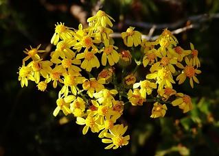 Desert Wildflowers - Ragwort (Jacobaea vulgaris)