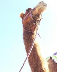 Camel (ETL-Photography) Tags: animal new animals polaroid flickr photoscape nature beautiful desert camel camels sky blue sun light lights brown pet landscape landscapes outdoor outdoors