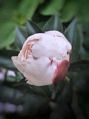 Pink Peony. (Mellisapix) Tags: floral flower nature babypink soft pink petals edibleflower paeoniaceae peony