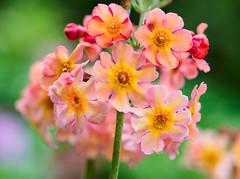 Candelabra primrose (Primula bullesiana) (Jens Flachmann) Tags: flower blossom primrose candelabraprimrose color nature plant closeup germany bielefeld primula bullesiana x