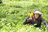 Sri Lanka, tea pickers (35) (walterkolkma) Tags: srilanka tea pickers teapickers centralhighlands nuwaraeliya strathdon teaestates women laborers tamils sonya6300