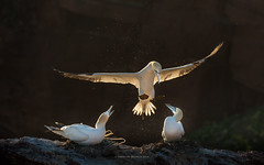 Hi Darling, I am back (ciwi.photography) Tags: gannet helgoland island spring backlight light beautiful frühling vogel bird vögel splashes northerngannets rock cliff breeding nest