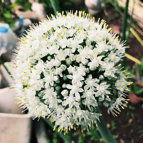 Flor de cebolla