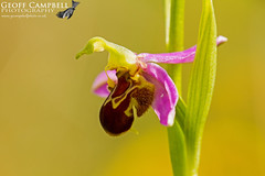 "First Bee Orchids of 2017 (Ophrys apifera) • <a style=""font-size:0.8em;"" href=""http://www.flickr.com/photos/63223331@N05/35056576886/"" target=""_blank"">View on Flickr</a>"