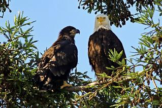 Bald Eaglet & Dad