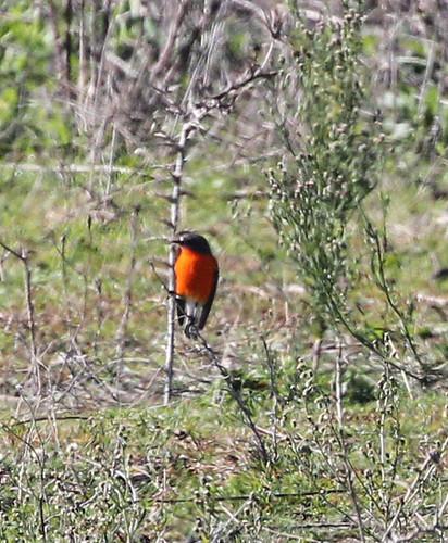 Petroica phoenicea (Flame Robin) - male