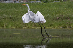 Great Egret 6-3-2017-7 (Scott Alan McClurg) Tags: aalba ardea ardeidae flickr animal back backyard bird bluesky flap flapping flight fly flying greategret land landing life nature naturephotography neighborhood portrait spring suburban urban white wild wildlife