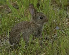 Young Rabbit (sho5572) Tags: outdoor digital nikon nikond800 lapins flickr wild nature field rabbit