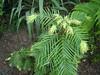 Wollemia Nobilis. 20.06.2010 (NashiraExoticGarden) Tags: wollemianobilis exoticgarden exotentuin 20062010