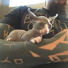 Photo (Noelin Wheeler) Tags: the new little addition our family meet boba fett hes siamese munchkin with curled ears thanks sincitysphynx if anyone is interested one check them out same we got other cat yoda from instagram noelinwheeler noelin tattoo las vegas basilica