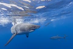 Great white shark and yellowfin tuna (George Probst) Tags: shark greatwhiteshark tuna underwater tiburonblanco fish blue ocean water grandrequinblanc weiserhai outdoor wildlife baja mexico pacific