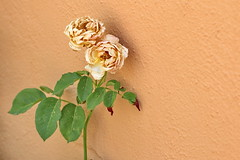 Painting the roses ochre (Micheo) Tags: alicia alice aliceinwonderland cita quotation ochre ocre rosas roses flowers flores pared wall patio lewiscarroll libro book reading