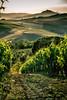 "Vineyards and hills // Tuscany, Italy (Merlijn Hoek) Tags: nikon nikkor camera kamera full fullframe d810 nikond810 fullframedigitalslr digitalslr slr 35mmformat 36×24mm 35mm 36megapixel digitalsinglelensreflex italie italy toscane tuscany centralitaly landscapes traditions history artisticlegacy influenceonhighculture""triptripjereisreisjevakantiehollidayvacancevacantiefotomooimooie foto'sscherpbeautifulwonderfulprachtigprachtige fotoschitterende foto beautiful landschap landscape wolken wolk cloud clouds lucht luchten licht wijn wine vineyard"