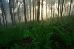 The garden of delights (Hector Prada) Tags: bosque niebla primavera helechos luz contraluz mágico naturaleza bruma forest fog mist light sun magic nature ferns paisvasco basquecountry