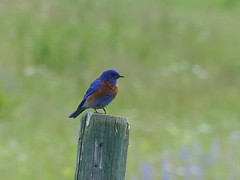 Western Bluebird (lizstewart60) Tags: westernbluebird beaverlakeroad lakecountry okanagan