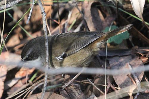 Sericornis frontalis (White-browed Scrubwren)