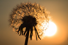 Dandelion at first light (Infomastern) Tags: dandelion macro makro maskros soluppgång sunrise exif:model=canoneos760d exif:aperture=ƒ90 geocountry camera:make=canon exif:isospeed=100 camera:model=canoneos760d exif:lens=ef100mmf28lmacroisusm exif:focallength=100mm geostate geocity geolocation exif:make=canon