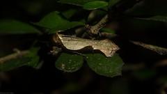 Dichomeris ochreoviridella (dustaway) Tags: arthropoda insecta lepidoptera gelechiidae dichromeris atasthilastis dichomerisochreoviridella browngreentwirlermoth australianmoths australianinsects rotarypark rprr rainforest lismore northernrivers nsw nature australia