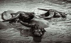 Water buffalo bath (david_chapelle) Tags: bubalusbubalis animal bathers bathing buffleasie buffles cornes group horns livingcreatures mammal mud swim thailand water waterbuffalo