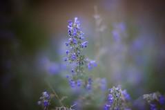 Tiny Blue Flowers (rolandmks7) Tags: sonynex5n