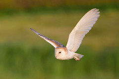 Barn Owl     17th June (Terry Angus) Tags: barn owl barnowl predator uk