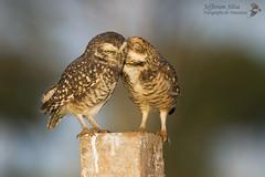 coruja-buraqueira / Athene cunicularia - Paulinia - 26-05-13 (Jefferson Silva) Tags: athenecunicularia wildlife birds brazilianbirds aves pássaros owl coruja