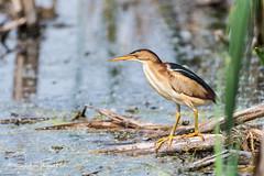 Petit blongios - Least Bittern (www.sophiethibault.ca) Tags: petitblongios réservenaturelledumaraisléonprovencher oiseaux 2017 juin neuville nature