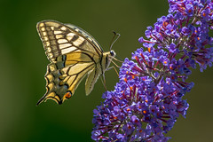 DSC2523  Swallowtail.. (jefflack Wildlife&Nature) Tags: swallowtail butterfly butterflies lepidoptera insects insect wildlife wetlands heathland hedgerows moorland meadows marshland countryside nature ngc npc