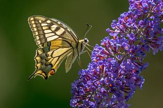 DSC2523  Swallowtail..