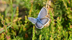 Silver Studded Blue butterfly (Plebejus argus) (tsbl2000) Tags: silverstuddedblue nikond810 tamron150600mm sussexwildlifetrust plebejusargus