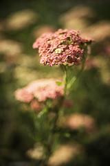 Meyer Optik Primotar E 3.5/50 Red V M42 #1710422 (Blythehill) Tags: primotar 3550 m42 flora meyeroptikgorlitz achilleamillefolium lachsschonheit