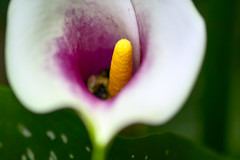 A Calla and the Bee (stanjohnson4) Tags: vibrant stamen bee insect callalily macro
