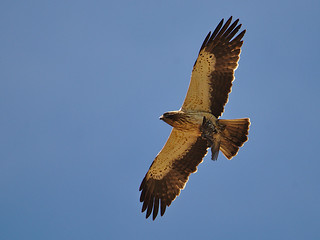 Águia-calçada // Booted Eagle