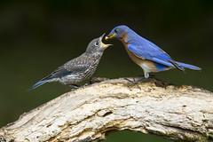 Eastern Bluebirds, juvenile and dad (AllHarts) Tags: juvenileeasternbluebirds backyardbirds memphistn soarinnaturesspirit naturescarousel ngc npc
