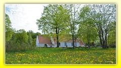 Dandelions at Tuve Church, Gothenburg (andantheandanthe) Tags: spring flower flowers blossom depthinfiield field floret wild wildflowers dandelions chapel church 1900´s cenntury tuve kirche gothenburg göteborg