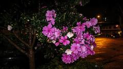 Rua Jose Manuel da Fonseca Junior (Laércio Souza) Tags: laerciosouza arrudabotelho ponteestaiadapinheiros ponteestaiada rosa flower reciclagem ferrovelho sucata sucataspontocom