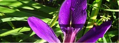close-up, purple iris with morning dew (Martin LaBar (going on hiatus)) Tags: southcarolina pickenscounty macro flower waterdrops iridaceae iris lirio primerplano