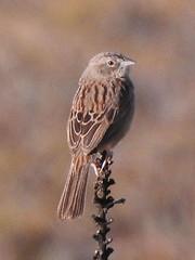 Botteri's Sparrow (David Bygott) Tags: usa arizona ruby bird