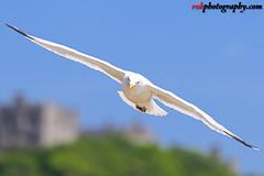 Seagulls @ Dover Beach, England (rvk82) Tags: 2017 birds dover england may may2017 nikkor70200mm nikon nikond810 rvk rvkphotography raghukumar raghukumarphotography seagulls wildlife rvkphotographycom unitedkingdom gb