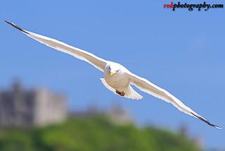 Seagulls @ Dover Beach, England