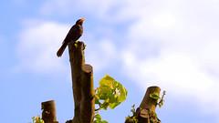 Amsel in Saalfeden (gregor_f.) Tags: saalfelden am steinernen meer amsel vogel aves sperlingsvögel passeriformes passeri singögel drosseln turdidae echte turdus merula pinzgau zell see