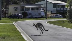 Pedestramals (- Jan van Dijk -) Tags: pedestramal animal kangeroo roo road crossing australia queensland toorbul skippy marsupial hoppy
